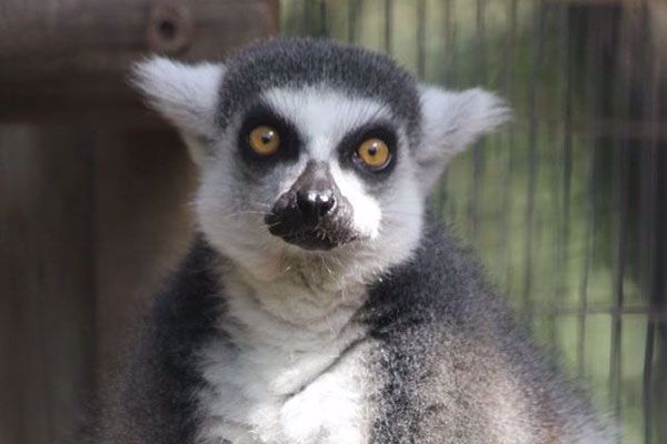 The lemurs are so cute